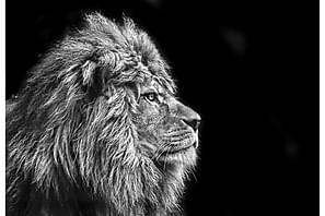 Canvas Lion 70x100 cm