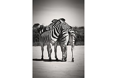 Juliste B&W Zebrat
