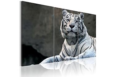 Taulu White Tiger 120x80